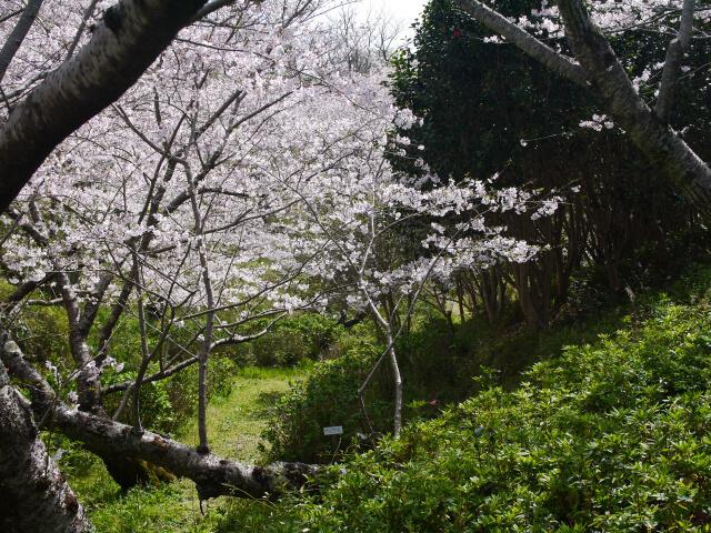 平草原 桜祭りの写真画像