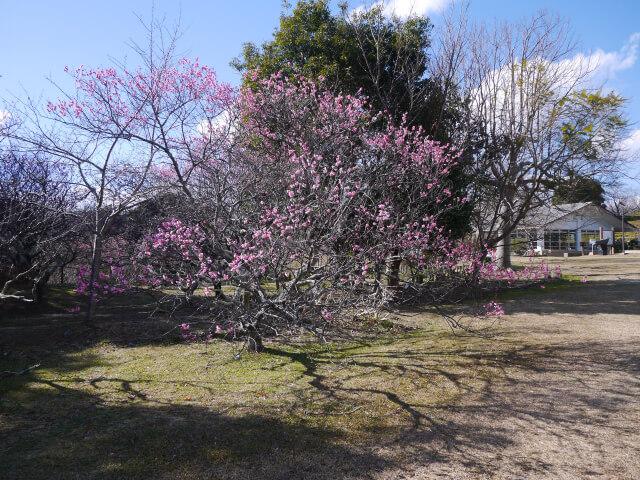 平草原公園 梅ノ木画像