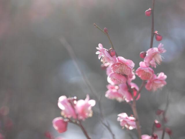 平草原の梅の花画像