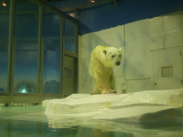 アドベンチャーワールド 白熊画像
