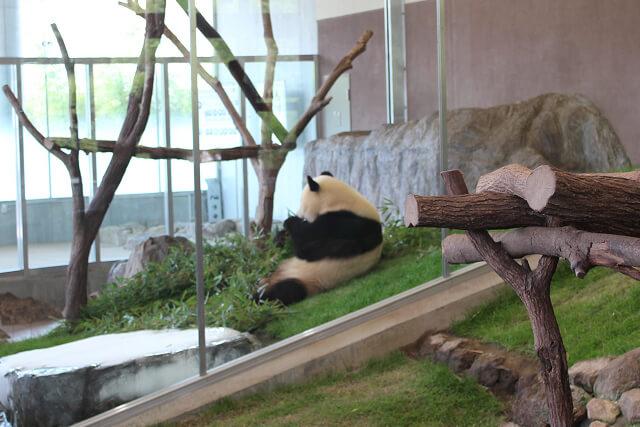 アドベンチャーワールド 双子パンダ画像