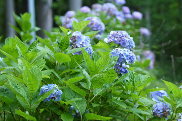 プチペンション アルファの庭に咲くアジサイ画像
